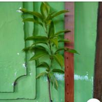 bibit tanaman buah mangga yuen
