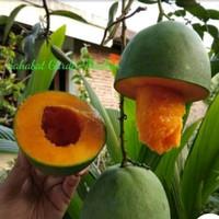bibit tanaman buah mangga alpukat