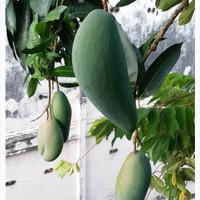 bibit tanaman buah mangga kiojai