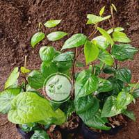 Bibit tanaman daun sirih hijau (obat herbal)