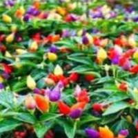Ufairah benih Bolivian Rainbow Pepper atau Cabe warna