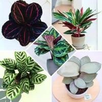 Paket murah tanaman hias 5 tanaman calathea//tamaman indoor,outdoor