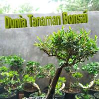 Tanaman hias bonsai cendrawasih