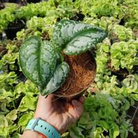 Scindapsus pictus 'exotica' - Tanaman hias rambat / Indoor plant