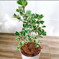 Tanaman Hias Ficus Triangularis Varigata