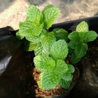 tanaman herbal daun mint