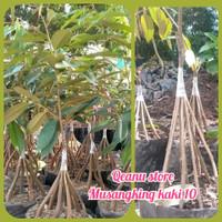 Bibit durian musangking kaki 10