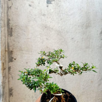 bonsai shito seribu bintang