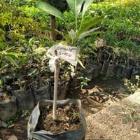bibit tanaman buah mangga gedong gincu