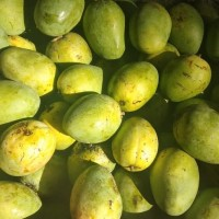 bibit tanaman buah mangga madu anggur