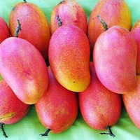 bibit tanaman buah mangga podang super harum