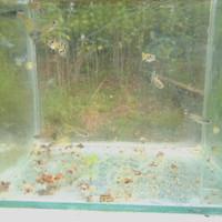 ikan guppy yellow cobra sepasang,umur 4-6bulan,siap produksi