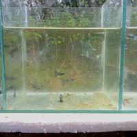 ikan guppy sepasang persilangan,blue Moskow dan green ,umur 4-6bulan