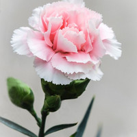 Bunga Carnation Segar