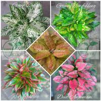 bibit bunga aglonema paket 5 jenis