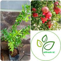 bibit tanaman delima merah / pohon delima merah