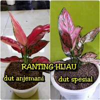 bibit bunga aglonema red anjemani dan dut anjemani spesial