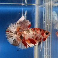 Jual Cupang Plakat Nemo Di Jakarta Timur Harga Terbaru 2020