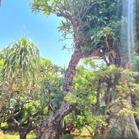 pohon kamboja bali