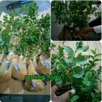 bibit tanaman Bidara arab_sidr Arab (untuk penangkal sihir)