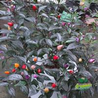 jual benih bibit cabe hias import pelangi bolivian rainbow