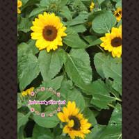 Jual Tanaman Bunga Matahari Di Malang Harga Terbaru 2020
