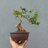 bonsai anggur brazil jaboticaba