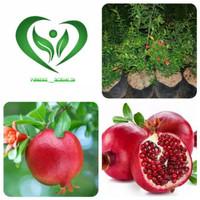 bibit tanaman delima merah pohon delima