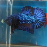 Jual Ikan Cupang Blue Avatar Murah Harga Terbaru 2020