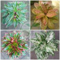 paket 4 macam jenis tanaman bunga aglonema