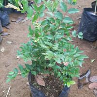 Jual Bonsai Anggur Brazil Murah Harga Terbaru 2021