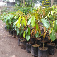bibit tanaman buah durian montong