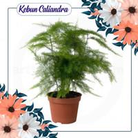 KEBUN CALIANDRA - Bibit Bunga Asparaga