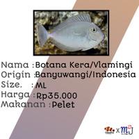Ikan Hias Laut Botana Kera/Vlamingi Tang