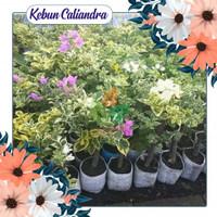 KEBUN CALIANDRA - Tanaman hias - bibit bunga bougenville