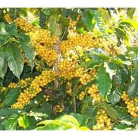 Kopi Kolombia 100gr (Yellow Catura) Colol Manggarai Flores