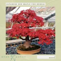 Benih / Bibit / Biji - Japanese Red Maple for Bonsai Seeds - IMPORT