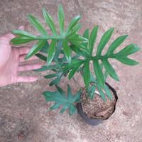 tanaman hias philodendron mayoi philo | tanaman indoor