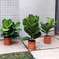 tanaman hias hidup tanaman biola cantik Ketapang biola