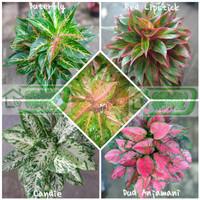 bibit bunga aglonema 5 jenis murah