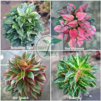 bibit tanaman bunga aglonema 4 warna jenis