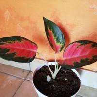 aglonema red kochin
