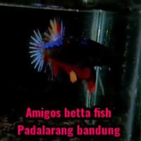 ikan cupang avatar fire armagedon bahanan 2-3 bln