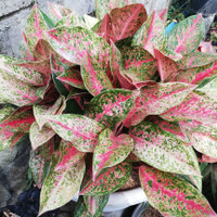 aglonema striptis bunga