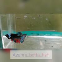 ikan cupang avatar gordon Bahan