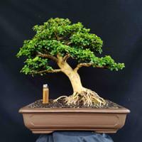 Bonsai Sisir Kaliage Tanaman Hias Style Natural Prospek Kontes
