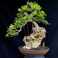 Bonsai Beringin Kimeng Tanaman Hias Style On The Rock Prospek Kontes