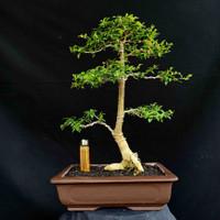 Bonsai Sakura Mikro Tanaman Hias Style Natural Istimewa