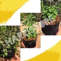 paket 3 bibit tanaman daun mint 3 jenis dengan media