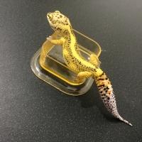 Tempat Minum Reptil / Gecko
